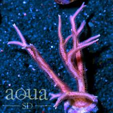 New listing Asd - 105 Purple Lightning Birdsnest - Wysiwyg - Aqua Sd Live Coral Frag