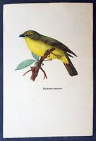 1820 Original Hand Coloured Antique Print Eastern Yellow Robin Australia & PNG