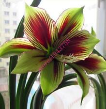 4 pcs True Amaryllis Bulbs(not Amaryllis seeds),hippeastrum flowers