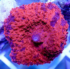 Ultra Rare Deadpool Mushroom Coral WYSIWYG
