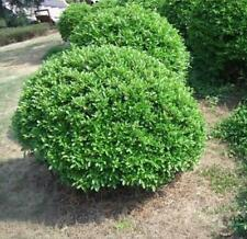 50 pcs English boxwood SEEDS (Buxus sempervirens) seeds