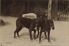 "PHOTO VINTAGE : CHIENS DE CHASSE ""Presto et Valdo"" TIRAGE CITRATE 1890-1900"