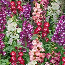 Penstemon F1 Arabesque™ Mix Perennial Plug Plants Pack x6