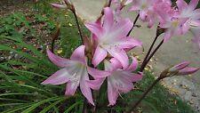 Amaryllis belladonna (Jersey lily, belladonna-lily, naked-lady-lily) 1 bulb
