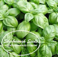Scarborough Seeds 500 Genovese Basil Seeds Heirloom Italian NON-GMO Fragrant US