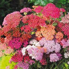 200 Pcs Yarrow Mix Color Seeds Bonsai Plant Tree House Herb Garden Flower Decor