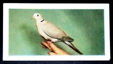 Barbary Dove  Aviary Bird    Superb Vintage Colour Photo Card