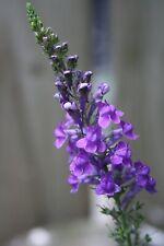Purple Toadflax Native Wild Flower Seeds  Bee Insect Pollinators Wildlife Garden
