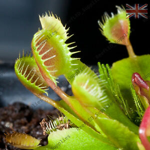 DIONAEA MUSCIPULA,Cupped Trap Venus Fly Trap Plant, Carnivorous - 10 Fresh Seeds