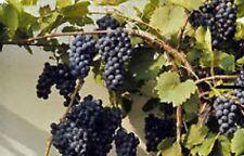 Organic NON-GMO Canadian Wild Grape Vitis Riparia 10 seed for wine.jam