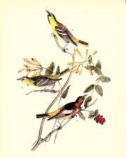 JOHN JAMES AUDUBON 1937 BookPrint BULLOCK'S ORIOLE Art Birds of America Painting