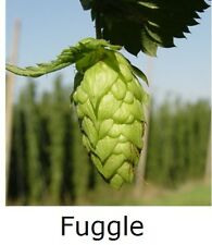 "1x HOPS 4"" pot * FUGGLE * ( Home brewing perennial plant hop bine vine"