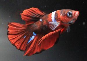 Fish Plakat Betta Pet Live Red Thai Fight Male Aquarium Plakad White New Fancy A