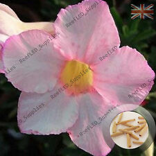 """Pale Pink"" Adenium Obesum Desert Rose 5 Seeds, Fresh Viable, UK Supply"