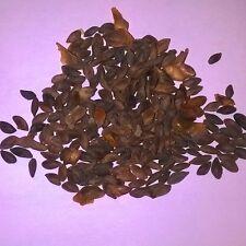 Lijang ABETE, Picea likiangensis conifera ALBERO E BONSAI 25 semi.
