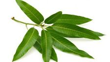 INDIAN MANGO LEAVES 30 CT FRESH PICKED BY ORDER KALASH WEDDING LEAF PUJA POOJA