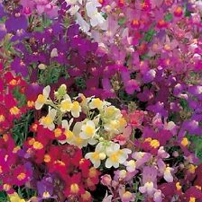Linaria 'Fairy Bouquet' / Toadflax / Hardy Annual / 2500 Seeds