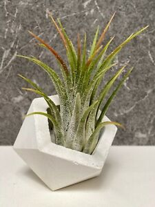 Tillandsia Ionantha with small white geometric planter