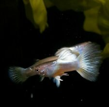 ⭐Pingu Guppys ⭐ pair 1F 1M live fish Guppies