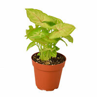"Syngonium Gold - 4"" Pot"