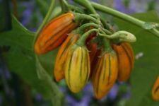 Striped Toga Eggplant - Aubergine - 5+ seeds - BEAUTIFUL RARITY!