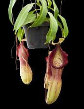 Carnivorous Nepenthes Hybrid Singalana x Burkei Be3878 Tropical Plant W03