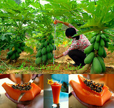 EXTRA DWARF! Carica Papaya tropical tree 'Surya #2'  Very Rare!! SEEDS.