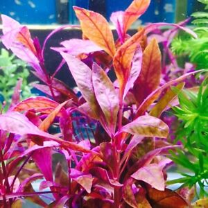 8+ Alternanthera Sessilis - Red - Tropical live aquarium plant- 1 Buncn