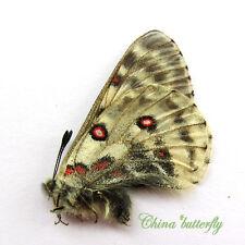 ABERRANT unmounted butterfly Papilionidae Parnassius actius  #29