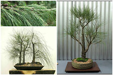 50 semi di Casuarina cunninghamiana, Oak Tropical, semi bonsai