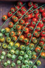 VEGETABLE TOMATO CHERRY BABY F1 12 FINEST SEEDS