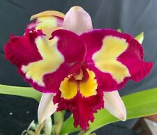RON Cattleya Orchid Special Quality Div Rlc. Chinese Beauty 'Orchid Queen' (2530