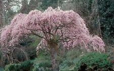 Prunus subhirtella Pendula WEEPING FLOWERING CHERRY TREE Seeds!