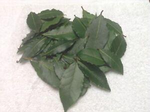 Organic Bay Leaves Leaf, Laurus Nobilis Laurel, Fresh Pick, 51 leaves, Free Ship