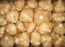 Pachyrhizus erosus Seeds Spanish jicama Mexican yam bean turnip garden Vegetable