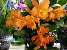 Bin-Blc. Fuchs Orange Nugget 'Lea' Spring Cluster Bloomer! Fragrant easy to grow