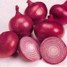 500 RED BURGUNDY ONION Allium Cepa Vegetable Sees X-101 (Combo S/H) + Gift *