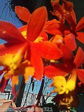 "Epidendrum, Orchids, Reed Stem, Orange, Yellow. Comes with 4""pot and Orchid Mix."