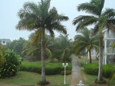 Roystonea regia - Cuban Royal Palm - 10 Seeds