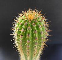Golden Torch Cactus – Trichocereus (Echinopsis) spachianus BULK Seed