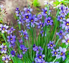 Blue-eyed Grass Seeds (25 seeds) ornamental grass