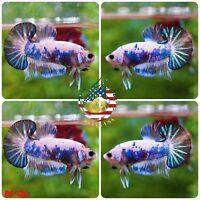 BS124 -Live Betta Fish High Quality Halfmoon Plakat HMPK Galaxy Koi - USA Seller