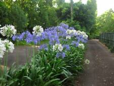 10 AGAPANTHUS Mixed Blue and White  Large Growing Variety