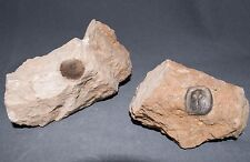 Ordovician Brachiopods Orthisocrania depressa  Ordovician fossils
