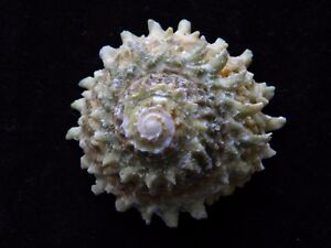Sea Shells Astraea (Lithopoma) phoebium 60mm ID#3658C