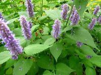 100 seeds Agastache Rugosa - Rare Organic Medicinal Herb Seed