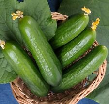 "Muncher Burpless Cucumber *Heirloom* (50 Seed's) ""FREE SHIPPING"""