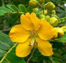 50 SENNA / ALEXANDRIAN CASSIA Angustifolia True Indian Yellow Flower Seeds