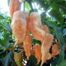 Hot Chili Pepper Seeds - JAY'S PEACH GHOST SCORPION -10 Heirloom Vegetable Seeds