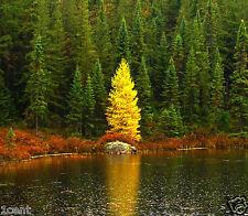200 seeds Golden Larch tree pine wood pinus antifungal remedy Pseudolarix amabil